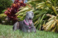 Bonz blog: Bonzo yaps with a retired Greyhound racer - #pets #dogs