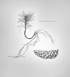 Macedonian pine seedling and cones. Drawn by Sarah Simblet for The New Sylva