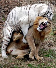 Tigers are the ultimate Killers!