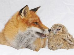 Roxy the Red Fox and Hoggle the Owl at Nuneaton & Warwickshire Wildlife Sanctuary in the UK. Creature Picture, Baby Otters, Primates, Family Dogs, Spirit Animal, Animal Pictures, Pet Dogs, Cute Animals, Wild Animals