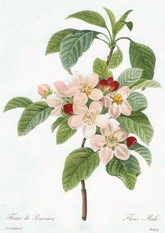 額絵ルドゥーテのバラ > ルドゥーテ(2)お花の絵 > ルドゥーテ「りんごの花」(大)