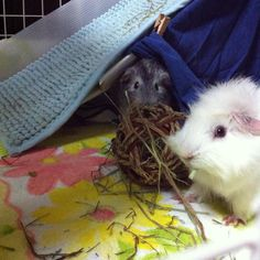 !!!!! #Mimmie #Punny #guineapig #hay #モルモット