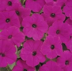 Pase Seeds - Petunia Seed  Tidal Wave Purple  Annual Seeds, $6.99 (http://www.paseseeds.com/petunia-seed-tidal-wave-purple-annual-seeds/)
