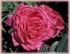 Rosa Hybrid Tea (Peter Mayle o.r.)One of the most fragrant Romantica roses. The blooms are large and deeply colored