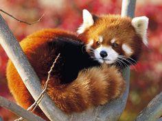 Partilhar é bom...: animais do mais lindo que há - panda vermelho