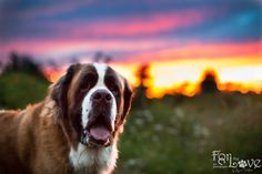 Sunset Saint Bernard www.forthelovepetphotography.com Saint Bernards, Dog Photography, Apollo, Dream Big, Puppy Love, Dogs And Puppies, Saints, Cute Animals, Happiness