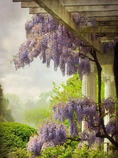 Wisteria - beautiful flower vine with an amazing fragrance. The colour & flowers remind me of a jacaranda tree. Beautiful Gardens, Beautiful Flowers, Beautiful Places, Dame Nature, Southern Plantations, Spring Shower, Vides, Gladiolus, Flowering Vines