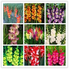 100/bag Perennial Gladiolus Flower Seeds, Rare Sword Lily Seeds for DIY HOME garden planting Aerobic potted plants  decoration