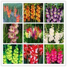 100/bag Perennial Gladiolus Flower Seeds, Rare Sword Lily Seeds for DIY HOME garden planting Aerobic potted plants  decoration [Affiliate]