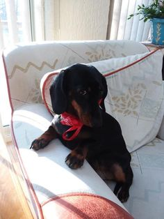 12 Amazing Reasons Dachshunds Are The Cutest Dogs On The Earth - Dachshund Bonus Dachshund Breed, Dapple Dachshund, Long Haired Dachshund, Funny Dachshund, Dachshund Love, Daushund Puppies, Cute Puppies And Kittens, Weenie Dogs, Pet Dogs