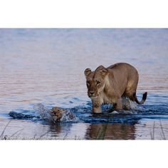 Very diligent childcare efforts by two lion mothers trying to bring six cubs across a river. Storify here: https://storify.com/WildlifeFilms/lion-drama-at-great-plains-selinda-reserve.