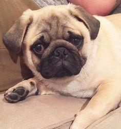 When your hand is stuck in the couch but you trying play it off 👋🏼 #pugs #pug #puppy #puppies #pugsnotdrugs #cute #dog #cupcakepugs #pugsofIG #thetomcoteshow #pugloversclub #pugbasement #qtpugs #worldofpug #babypuggies #frankthepughero #mopsi #pugnation #pugloversofinsta #mops #hoboken #nj #borislovesfriends #pupperpic #radhound #qtpugs #pugpuppy #pugnation #puglove