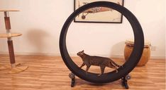 Bored Panda: Hamster Wheel for Cats. Dude, I have been talking about this idea/invention for YEARS. I need one.