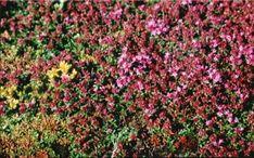 Dachbegrünung Pflanzen Gründach | Der Dachbegrünung Ratgeber von www.optigruen.de