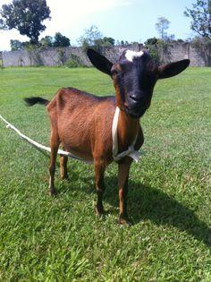Goats!!!