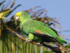 LORO REAL (Amazona ochrocephala), Llanos Venezuela
