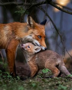 Who doesn't love a baby fox? Photos by The post Who doesn't love a baby fox? P appeared first on . Forest Animals, Nature Animals, Animals And Pets, Baby Animals, Cute Animals, Animals Planet, Small Animals, Beautiful Creatures, Animals Beautiful