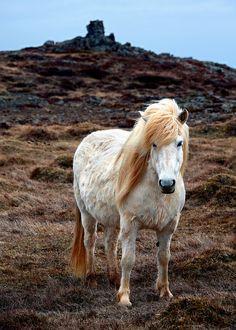 Icelandic Pony by Rob Kroenert, via Flickr