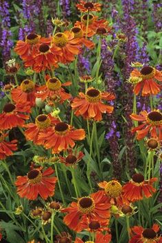 'Moerheim Beauty' Helenium 'Moerheim Beauty' I have this in my yard. The blooms last a month!Helenium 'Moerheim Beauty' I have this in my yard. The blooms last a month! Beautiful Flowers, Plants, Plant Combinations, Planting Flowers, Fall Flowers, Autumn Garden, Perennials, Garden Shrubs, Colorful Garden