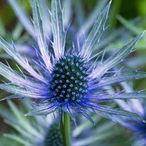 Eryngium (sea holly) or blue thistle Love this plant! Mine should bloom this year!