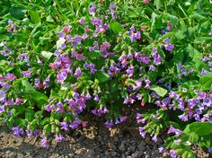 pulmonaria | Description Pulmonaria officinalis 001.JPG
