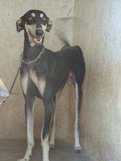 KANNI #Sighthound #Dogs