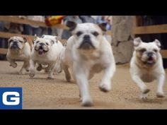 Running of the Bulldogs: Behind the Scenes - GEICO - YouTube