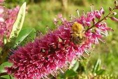 Bumblebee foraging from a Hebe inflorescence. Credit: Beverley Glover