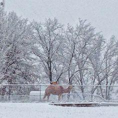 Camel in Columbia Missouri