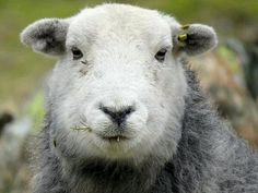 Fantastic Herdwick Sheep from Herdy UK via Twitter