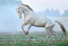 Akhal-Teke stallion for sale and for breeding | Horses For Sale | Epona Exchange - Samurai Shah