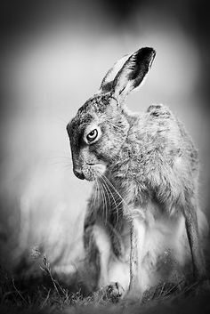Dark Hare by Peter Denness - (reminds me of Captain Campion and the rabbits of Efrafa ...)