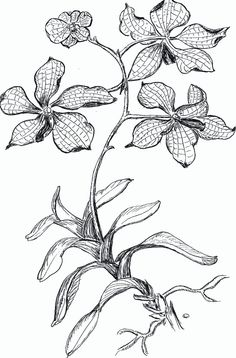 Orchid - Coloring Pages & Pictures - IMAGIXS