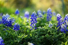 How to Take Better Bluebonnet Pictures of Your Children