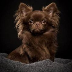 Effective Potty Training Chihuahua Consistency Is Key Ideas. Brilliant Potty Training Chihuahua Consistency Is Key Ideas. Baby Chihuahua, Long Haired Chihuahua, Pet Dogs, Dog Cat, Pets, Doggies, Beautiful Dogs, Animals Beautiful, Cute Puppies
