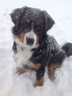 Bernese Mountain Dog Puppy. Winter.