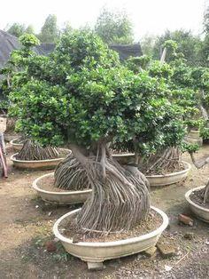 photo du bonsai ficus ficus microcarpa ginseng bonza l 39 art l 39 tat d 39 art pinterest. Black Bedroom Furniture Sets. Home Design Ideas