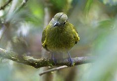 Snowornis cryptolophus/Olivaceous Piha/オリーブカザリドリ
