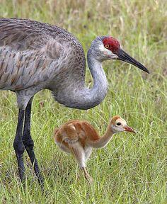 sandhill crane eye | Sandhill Crane and Chick photo by Denny Green