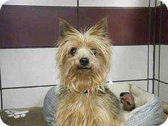 Fort Wayne, IN - Yorkie, Yorkshire Terrier. Meet CHEROKEE, a dog for adoption. http://www.adoptapet.com/pet/16823483-fort-wayne-indiana-yorkie-yorkshire-terrier