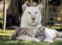 Just beautiful big cats I Love Cats, Big Cats, Cats And Kittens, Cute Cats, Cute Baby Animals, Animals And Pets, Funny Animals, Nature Animals, Wild Animals