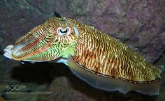 Cuttle Fish by raphealster Underwater Photography Underwater World, Underwater Photography, Beautiful World, Guernsey, Fish, Boat, Animals, Free Shipping, Amazing
