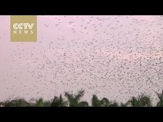 Splendid Scene: Thousands of birds return home - YouTube