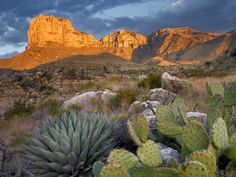 Opuntia Cactus and Agave, Guadalupe Mountains N.P., Texas
