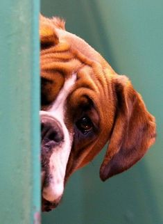 A Boxer dog looks out from its kennelhttp://www.telegraph.co.uk/lifestyle/pets/10680498/Crufts-2014-the-worlds-biggest-dog-show-in-pictures.html?frame=2844449 #petphotography,