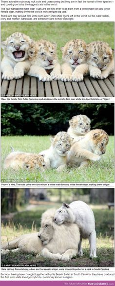 The world's first white ligers, rarest big cats on the planet. next pet?!