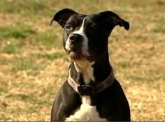 10-year-old Pit Bull saves family and five other dogs from burning home