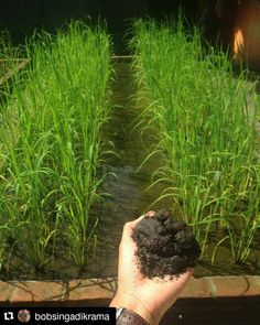 """#Repost @bobsingadikrama with @repostapp  Tentang menanam padi dipasir.  14 tahun lalu perusahaan riset bernama Indmira memulai lalu berhasil menanam padi lahan pasir di pandansimo bantul.  Penelitan itu menjawab pertanyaan """"dimana kita bisa menanam pangan saat menanam beton lebih menguntungkan"""" Penelitian itu menjawab """"bagaimana cara mensejahterakan masy pesisir pantai yang sering disebut kaum paling marginal""""  Tapi ya sampai detik ini sayang pertanian di lahan pasir hanya jadi…"""
