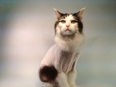 The Lion Cut ~ Modeled by Mikey ~ www.themainlion.com Grooming Salon, Cat Grooming, Lion Cat, Cats, Model, Animals, Gatos, Mathematical Model, Animales