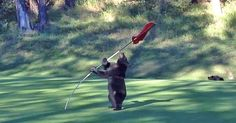 Bear has some fun on the golf course-Video...